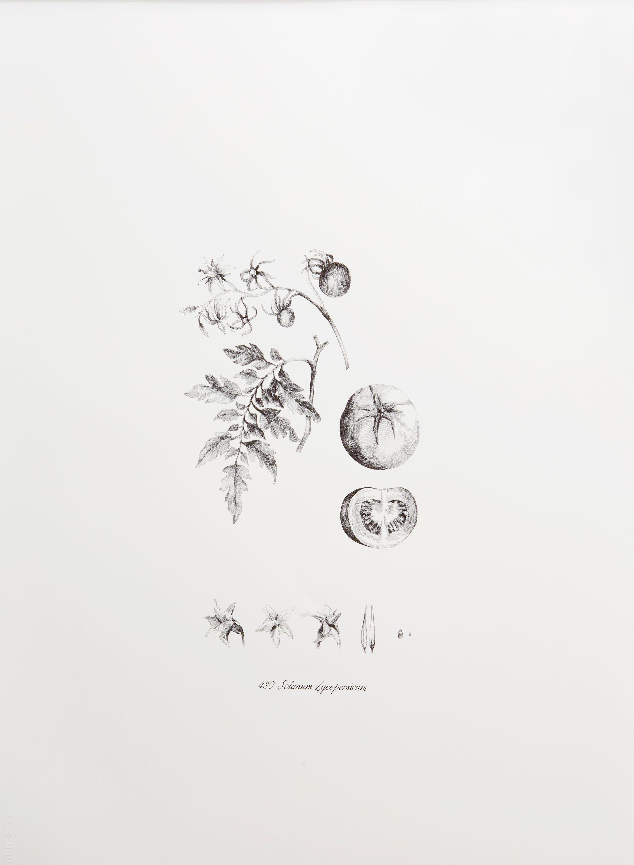 Solanum Lycopersicum by Luna Bengoechea, Lucía Mendoza