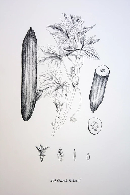 Cucumis sativus by Luna Bengoechea, Lucía Mendoza